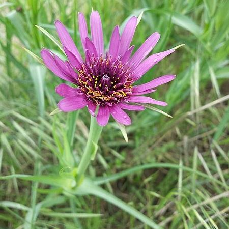 https://www.permacultuurnederland.org/upload/450px-Tragopogon_porrifolius_(subsp._porrifolius)_sl5.jpg