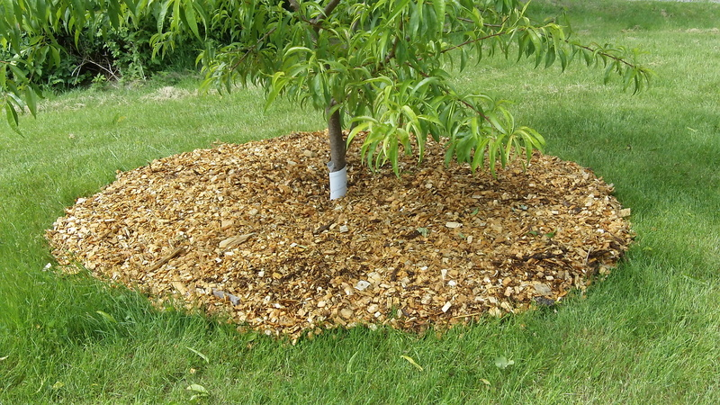 Een fruitboom gemulched met houtsnippers. het kan goed zijn eerst een laag karton aan te brengen zodat het gras minder snel door de mulch heen groeit.